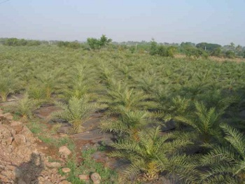 Palms planted in fields at Tukai