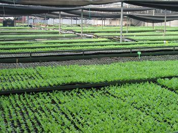 Seedlings at Tukai