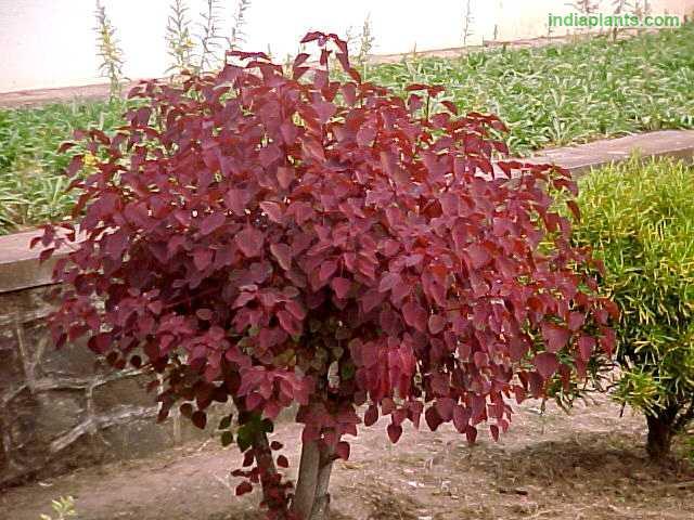 Indiaplants Com Plant Details