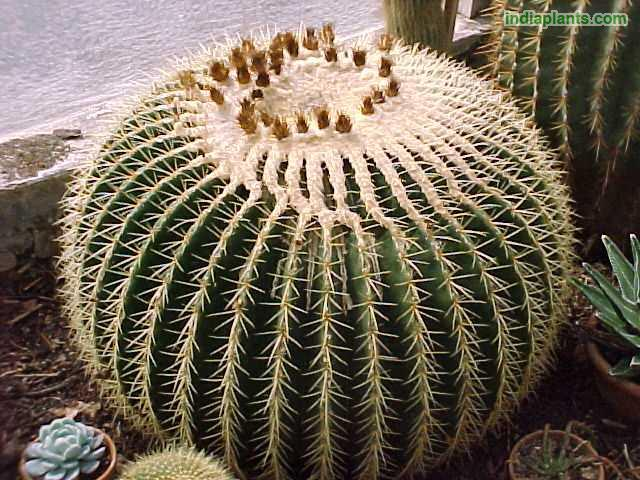 Golden Barrel Cactus, Golden  Ball, Mother In Laws Seat