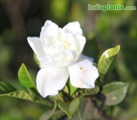 Indiaplants plant details jasmine rose everblooming gardenia mightylinksfo