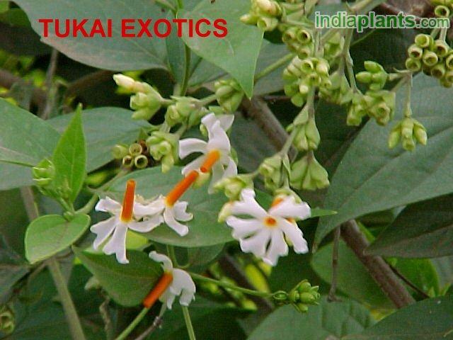 night jasmine plant sale