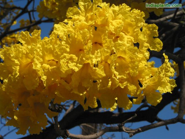 Yellow Tabebuia, Golden Bell, Silver Trumpet Tree.