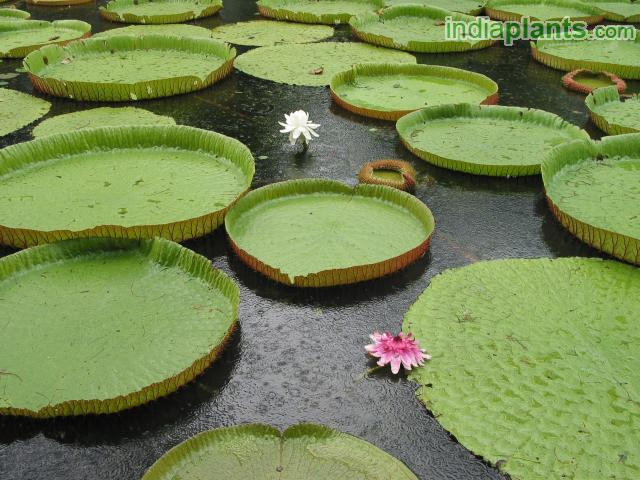 Amazon Water Lily, Royal Water Lily, Giant Water Lily